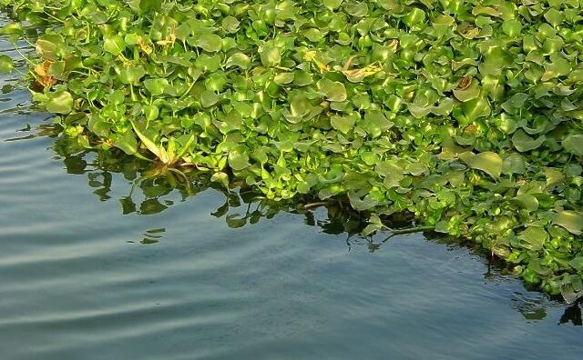 水葫芦.jpg